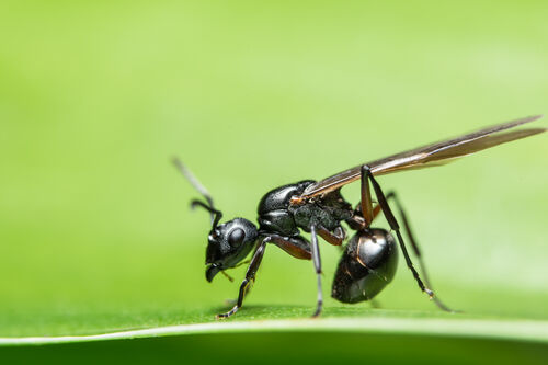 macro-ant-with-wings