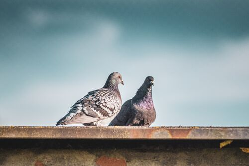 closeup-shot-of-two-stock-doves-standing-on-the-roof